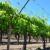 Oprezno s proljetnom prihranom vinove loze nakon cvatnje