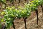 Koja zaštita je potrebna vinovoj lozi u travnju?