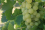 Proljetna gnojidba vinograda