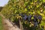 Vegetacijska sezona u vinogradima 2010.