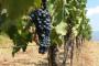 Zaštita vinograda uoči i iza cvatnje