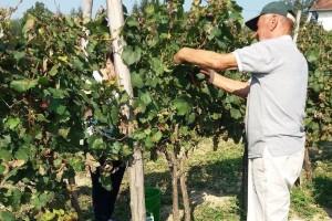 Raspisan konkurs za podizanje višegodišnjih zasada vinove loze