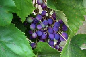 Vinogradari u Hercegovini se bore da sačuvaju dobar rod grožđa i strahuju od novih kiša