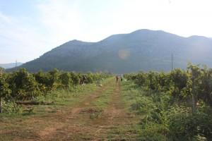 Troškovi vinogradara ove godine veći - otkupne cijene grožđa na prošlogodišnjem nivou