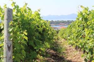 Nestaće polovina svetskih vinograda?