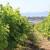 Nestat će polovica svjetskih vinograda?