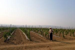 Saveti za pravilno đubrenje vinograda