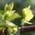 Razmnožavanje vinove loze na okućnicama