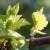 Vegetativno razmnožavanje vinove loze na okućnicama