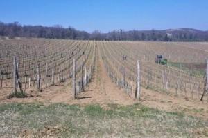 Koje agrotehničke mjere primjeniti prilikom sadnje vinove loze?
