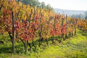 Obavite jesensku gnojidbu vinove loze gnojivima s manje N, a više P i K