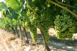 Prevencija pepelnice na vinovoj lozi na ekološki način