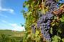 Zaštita vinove loze