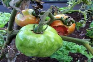 Virusne bolesti paradajza i krastavca - kako ih suzbiti?