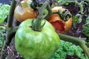 Virus pjegavosti i uvenuća paradajza i virus mozaika krastavca čine velike štete