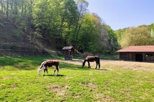 Višnja je jedina krava u selu u kojem ih je nekada imalo svako domaćinstvo