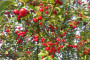 Vrijeme i način sađenja trešnje i višnje