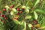 Zaštita višnje i trešnje od cvijeta do ploda