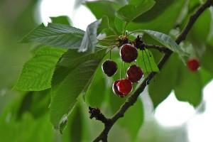 Kako pravilno obaviti prihranu višnje?