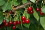 Promicanje ekološkog uzgoja višnje maraske
