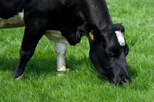 I goveda trebaju vitamine