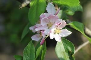 Procvale voćke kao u proljeće - kako spriječiti ovu štetnu pojavu?