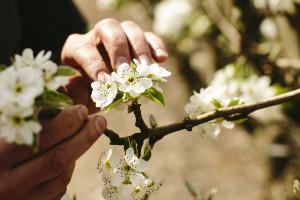 Voćari oprez: U voćnjacima registrovano prisustvo voćnog sipca