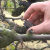 Jesenski radovi u voćnjaku: Preporučljivo je odstranjivanje mumija i prorahljivanje tla