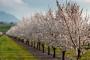 Kako liječiti posljedice niskih temperatura u voćnjaku