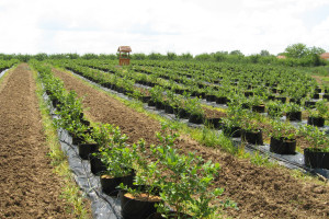 Koja su najvažnija pitanja vezana za uzgoj borovnice