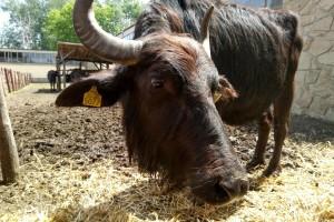Borislav Vuletin: Vodeni bivo daje kvalitetno meso i masno mleko