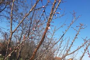 Kako da agro i pomotehnikom utičemo na formiranje cvetnih pupoljaka?