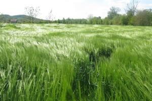 Oborine dobrodošle ozimom ječmu i pšenici, za uljanu repicu kiša je - zakasnila