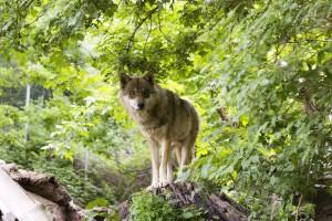 """""""Susret sa vukom"""" povod za lovačko druženje ili neopravdani odstrel vukova?"""