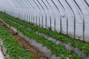 Počela isplata poljoprivrednih poticaja za pet vrsta proizvodnje