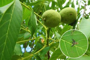 Kako suzbiti orahovu muhu?