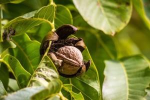 Ekološki uzgoj oraha: Kvalitetno gnojivo i zdrave sadnice ključni za uspješan uzgoj