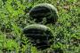 Vukovarskoj lubenici spas od izumiranja