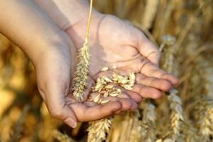 Otkup pšenice: Koja su pravila za otkupljivače prema Zakonu o zabrani nepoštenih trgovačkih praksi?