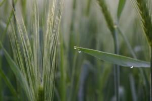 """Pšenica """"kiše"""" i tako prenosi lisnu hrđu na druge biljke?"""
