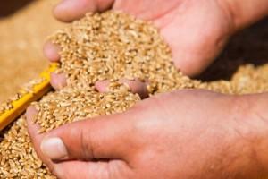Usporen izvoz ruske pšenice