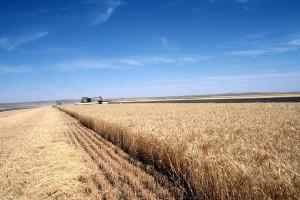 Raste cijena ukrajinske pšenice - glavne zemlje izvoznice zabrinute za tu žitaricu