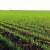 Prve procene nakon zime obećavaju dobar rod žitarica