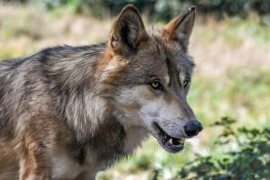Istraživanja potvrdila: Od 17 križanaca vukova i pasa, 16 ih je u Dalmaciji!