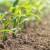 Zaštita kukuruza od uskolisnih i širokolisnih korova