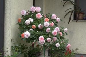 Nega ruža stablašica: Pravilno orezivanje i bez pokrivanja zimi