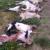 Pojava vukopasa u Dalmatinskoj zagori digla na noge lovce i stočare