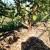 Đubrenje borovnice - važno je izbegavati nitratni oblik azota