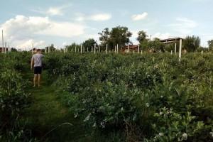Visokožbunasta borovnica donosi profit, ali se mora znati tehnologija proizvodnje