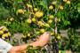 Šire se bolesti lista u voćnjacima